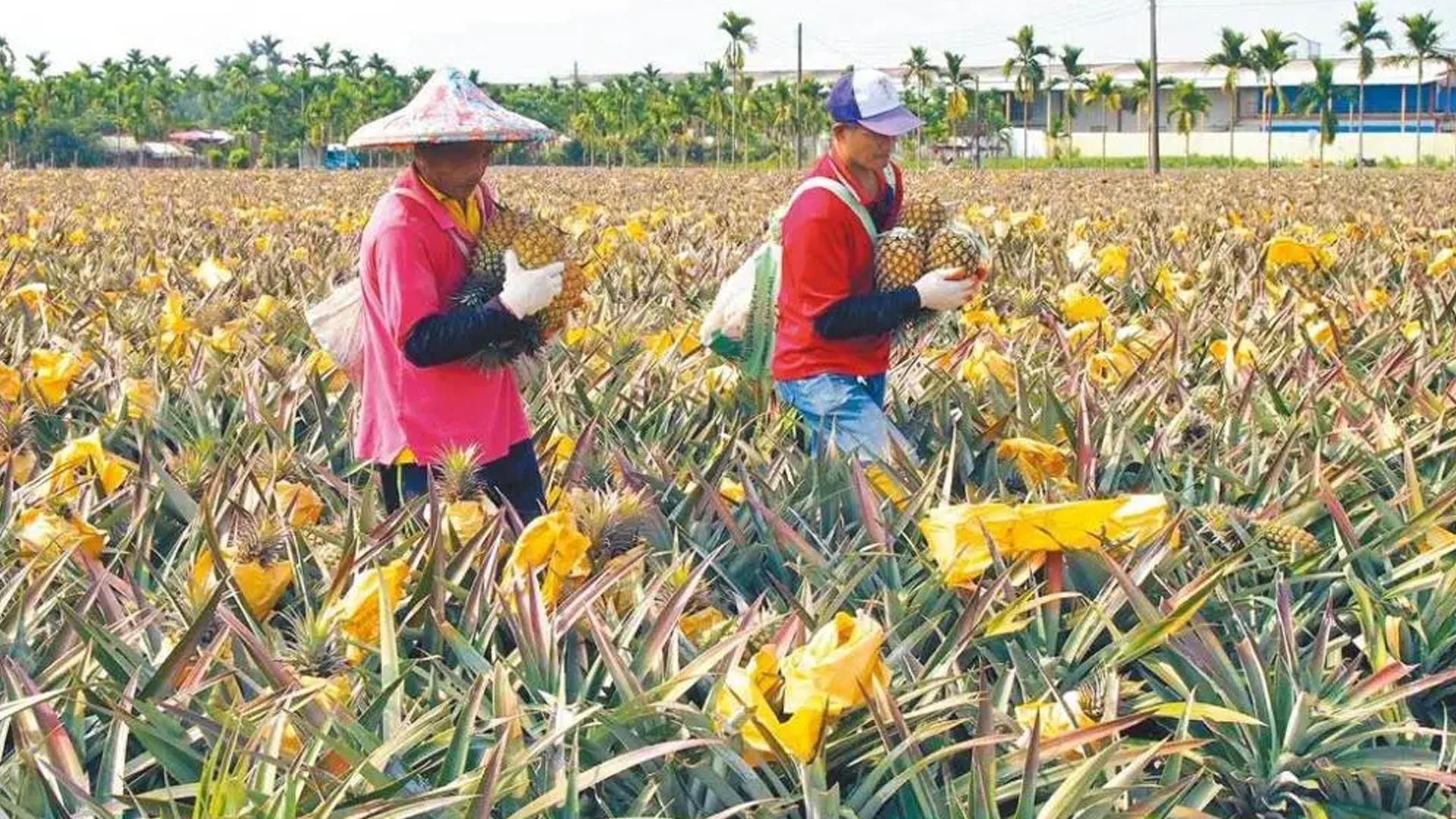 大陆暂停进口台湾菠萝,民进党当局这次是真慌了!